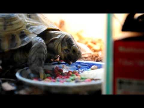 人工飼料を食べる陸亀