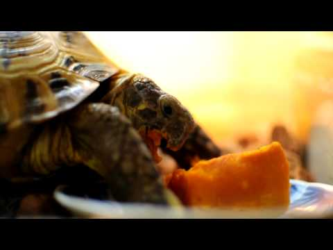 かぼちゃを食べるロシアリクガメ