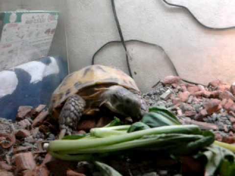 餌を食べる陸亀