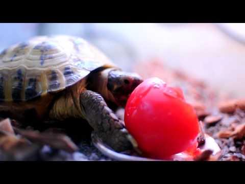 トマトをがっつく陸亀