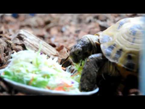 野菜を食べるロシアリクガメ