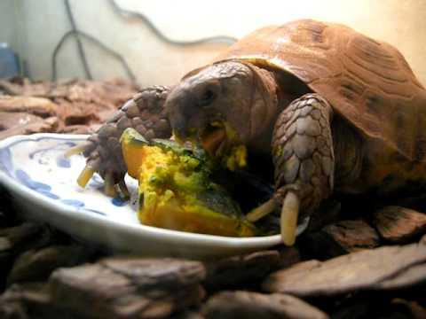 かぼちゃ大好きな陸亀