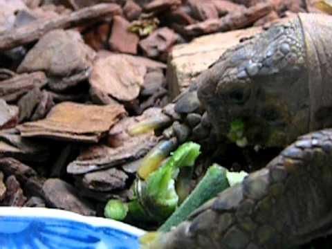 フィリピン産のオクラを食べるリクガメ