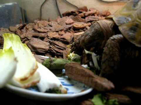 チコリを食べる陸亀