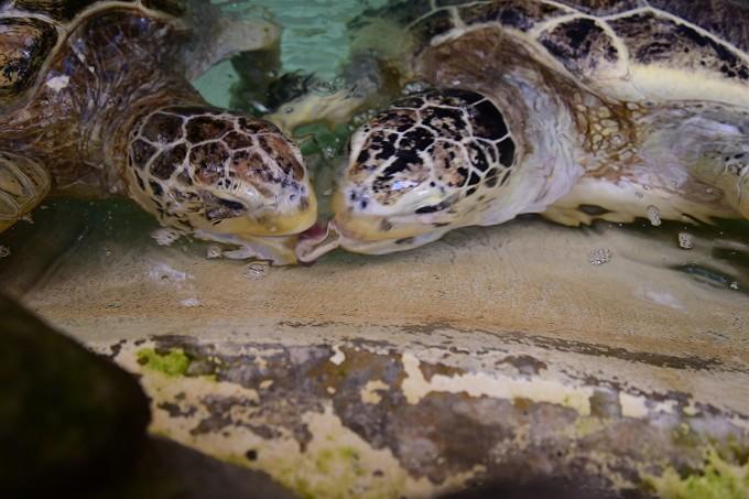 アオウミガメの画像 p1_17