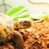 【本日のリクガメ】小松菜がなかなか食べられないロシアリクガメ