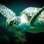 アオウミガメの死亡も確認!奄美海域に油が漂着しています