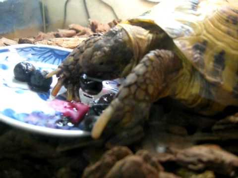 ブルーベリーを食べる陸亀