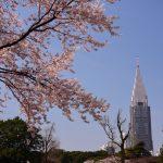 【2017年新宿御苑の桜】満開の染井吉野他、まだ咲いていない桜も多数!
