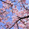 2018年の桜も新宿御苑で撮影して来ました!
