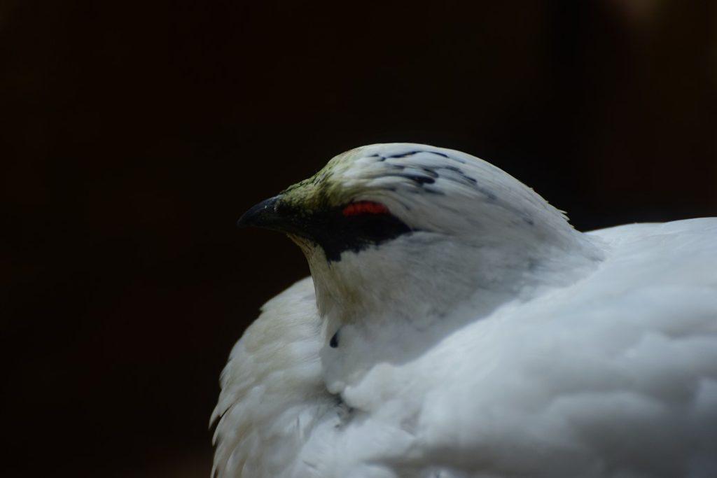 上野動物園に行って雷鳥を見てきました!