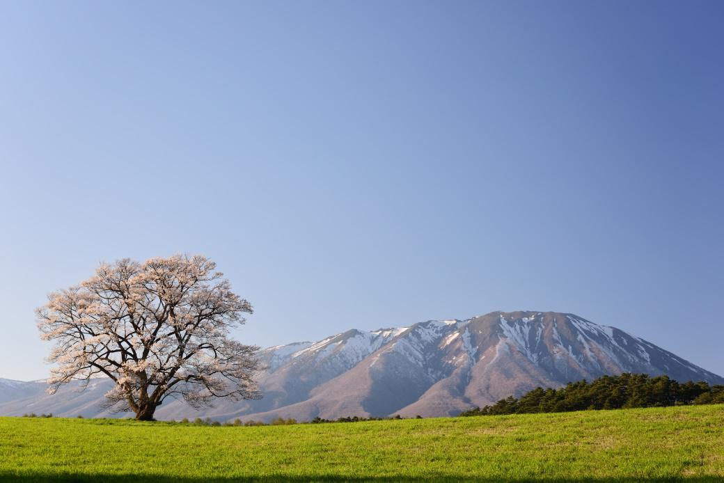 小岩井牧場の一本桜