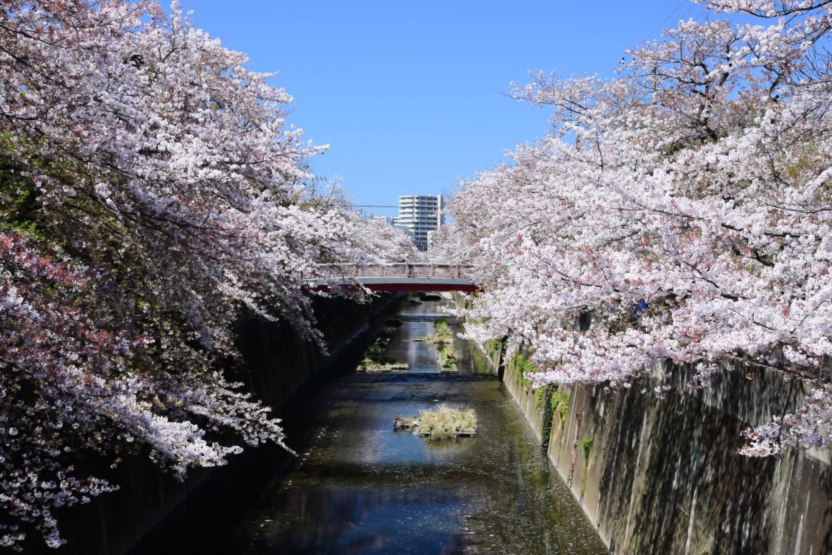 中根橋の桜