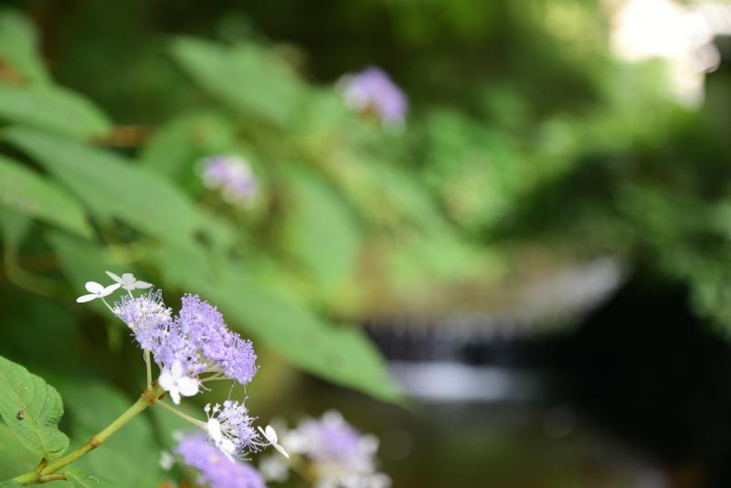 高尾山の紫陽花